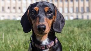 Airbnb Arkansas by Airbnb Offers Daily Dachshund Rental
