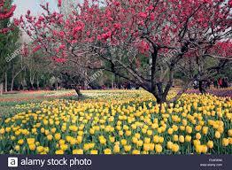 Beijing Botanical Garden The 650000 Strains Of Tulips At Beijing Botanical Garden Bloom A