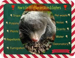 how to get rid of garden moles u0026 gophers