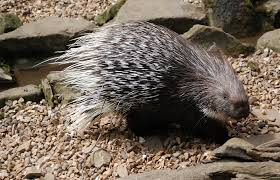 prickly porky porcupine facts activities books photos and