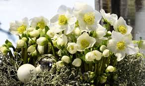 white christmas helleborus gold collection