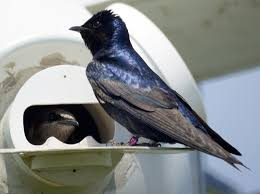 purple martins this is the woolwine house bluebird trail