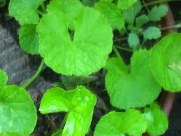 top 10 best herbal ayurvedic and healthy tea in sri lanka trip