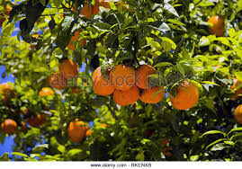 naranjo orange tree stock photos naranjo orange tree stock