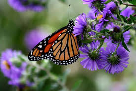 free picture male monarch butterfly green plant danaus plexippus