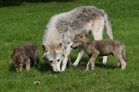 wolf gives birth wolf baby wolves and gray wolf