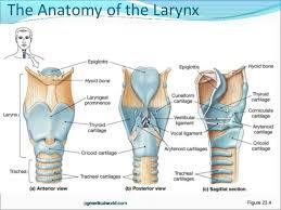 Directional Terms Human Anatomy Human Anatomy Larynx Anatomy Anatomical Directional Terms And At