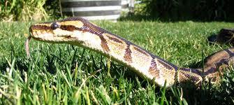 snakes backyard zoologist