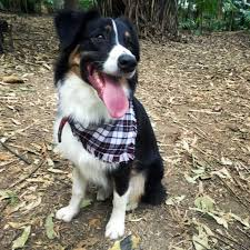 australian shepherd overweight testimonials u2013 before and after archives natural dog company