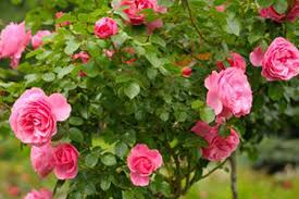 Fragrant Climbing Plant - how to plant roses diy true value projects