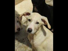 australian shepherd 1 jaar meet bo an adoptable great pyrenees dog greenville oh