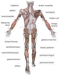 Anatomy Human Abdomen Stomach Area Anatomy Images Learn Human Anatomy Image