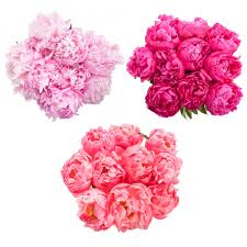 flower of the month club peonies every month subscriptions flower muse