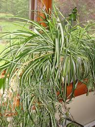 why it u0027s easier to kill my darlings than tame my spider plant