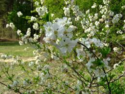 Pink Spring Flowering Shrubs - spring blooming shrubs in my garden in north carolina heart of a