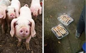 firefighters saved piglets served sausages