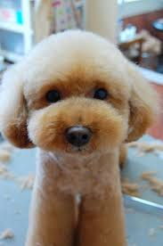 hair styles at the shoodle in animal crossing new leaf 31 best cutest pups ever images on pinterest pets poodles and