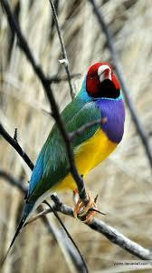 325 best birds finches grosbeak brambling images on pinterest
