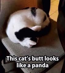 Butt Meme - this cats butt looks like a panda meme