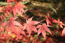 deciduous ornamental trees things about trees