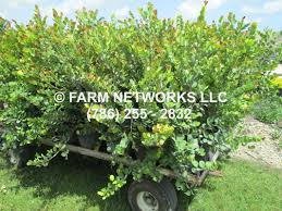 native hedgerow plants red tip cocoplum homestead hedge plants 786 255 2832 we deliver
