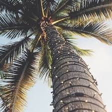 palm tree christmas tree lights palm trees california take me away pinterest palm