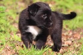 australian shepherd forum what color is this puppy color genetics