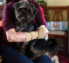 affenpinscher ottawa after losing three limbs christine caron takes pleasure in life u0027s