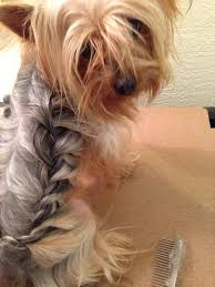 male yorkie haircuts ideas about yorkie hairstyles for males cute hairstyles for girls