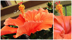 which state has a hibiscus growing hibiscus in containers pots youtube
