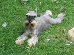 mini schnauzer haircut styles silvercastle boarding grooming and training grooming