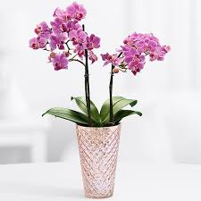 orchid plants orchid plants from proflowers
