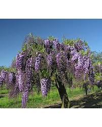 Wisteria Rugs Sweet Deal On Wisteria Floribunda Black Dragon Tree Form