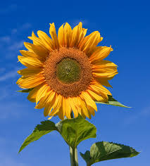 sunflower pictures helianthus