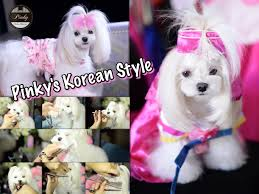 joypia yorkshire haircuts grooming pinky maltese korean style face asian style groom