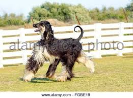 afghan hound racing uk afghan hound dog walking on the lawn stock photo royalty free