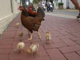 feral chicken wikipedia