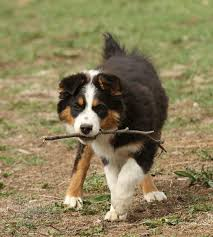 playing with australian shepherd 97 best dog lovers images on pinterest dog lovers blue heelers