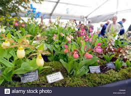 cypripedium hybrids on display on the edrom nursery stand at the