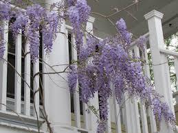 enjoying wisteria u0027s purple blooms ravenscourt gardens