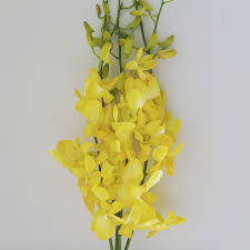 yellow orchids orchids t g flower growers