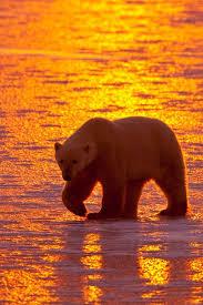 Two Polar Bears In A Bathtub Best 25 Polar Bears Ideas On Pinterest Polar Bear Dogs Polar