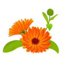 Calendula Flowers Calendula Vector Images Over 270