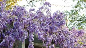 Purple Flower On A Vine - wisteria vines with purple flowers also grow as trees u0026 shrubs