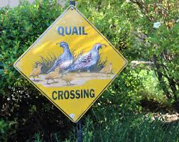 the californian quail is the state bird of california they also