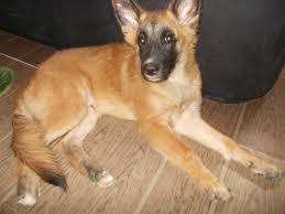belgian shepherd video belgian malinois shepherd cebu kisha and her pups