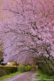 Japanese Cherry Blossom Tree by 449 Best Cherry Blossoms Images On Pinterest Landscapes Nature
