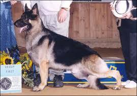 belgian sheepdog of america types of german shepherds by wildhaus kennels