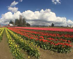 Tulip Festival Map What To Do At The Skagit Valley Tulip Festival Travel Channel