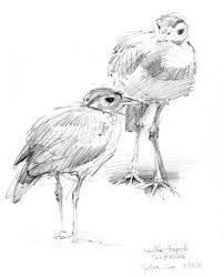 north american bird sketches bird sketch sketch drawing and birds